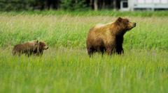Hitching a lift playful Brown Bear cubs playing, Alaska, USA Stock Footage