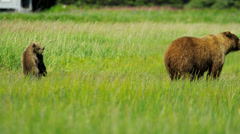 Young Brown Bear cubs inquisitive of their surroundings Stock Footage
