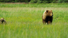 Running Brown Bear with cubs in summer grasslands Wilderness area, Yosemite - stock footage