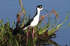 black-necked stilt (himantopus mexicanus) - stock photo