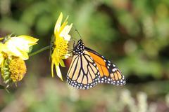 Monarch butterfly (danaus plexippus) on woodland sunflowers Stock Photos