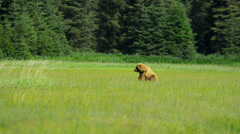 Brown Bear roaming summer grasslands nr Homer Alaska, USA - stock footage