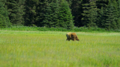 Brown Bear roaming rich summer grasslands Canada, - stock footage