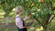 Stock Video Footage of Agronomist in apricot orchard examine fruit