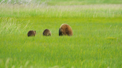 Young Brown Bear cubs and adult female Wilderness grasslands - stock footage