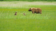 Young Brown Bear cubs relaxing guarded by adult female Wilderness grasslands Stock Footage