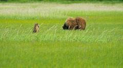 Brown Bear cubs relaxing close to their mother, Alaska, USA - stock footage
