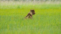Young Brown Bear cubs on Wilderness grasslands, Alaska, USA - stock footage