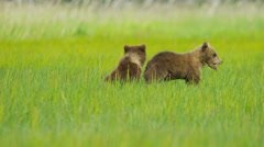 Young Brown Bear cubs on Wilderness grasslands, Alaska, USA - stock footage
