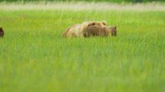 Female Brown Bear with cubs Wilderness grasslands, Alaska, USA - stock footage