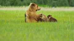 Young Brown Bear cubs feeding Wilderness grasslands, Alaska, USA Stock Footage