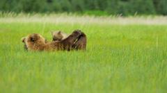 Female feeding young Brown Bear cubs Wilderness grasslands, Alaska, USA - stock footage