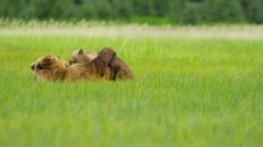 Female feeding young Brown Bear cubs Wilderness grasslands, Alaska, USA Stock Footage