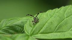 Assassin bug beetle Shield bugs macro 4k - stock footage