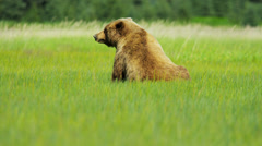 Large female Brown Bear moving with cubs grasslands  Alaska - stock footage