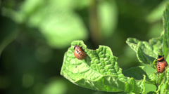 Larvae colorado beetle - agriculture pest, macro 4k Stock Footage
