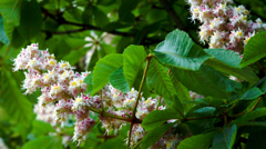 Chestnut in May KIEV Ukraine - stock footage