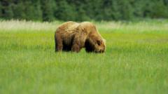 Brown Bear feeding from rich vegetation  Alaska, USA - stock footage