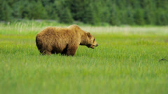 Female Brown Bear feeding from rich vegetation, Kenai National Park, Alaska - stock footage