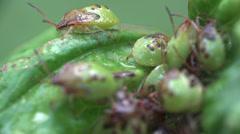 Pentatomidae beetle Shield bugs macro 4k - stock footage