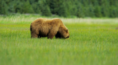 Female Brown Bear Ursus arctos feeding from rich vegetation, Alaska, USA - stock footage
