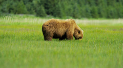 Brown Bear Ursus arctos feeding from rich vegetation in, Alaska, USA - stock footage