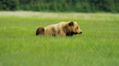 Brown Bear relaxing in summer Wilderness grasslands, Yosemite - stock footage