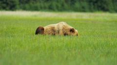 Brown Bear resting  in summer Wilderness grasslands, Alaska - stock footage