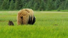 Brown female Bear feeding in rich Wilderness grasslands with her cubs, Alaska - stock footage