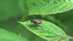 Stock Video Footage of Assassin bug beetle Shield bugs macro 4k