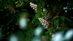 Chestnut in May KIEV Ukraine Stock Footage