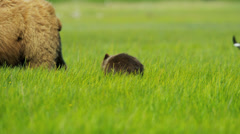 Bear with young cubs feeding from rich vegetation in summer, Alaska - stock footage