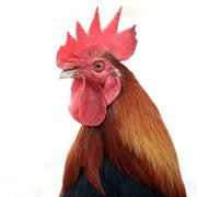 Closeup of rooster on white background Stock Photos