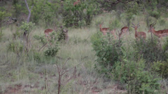 Impala Antilopes Walking in the Safari Stock Footage
