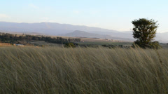 Wild Grass Blowing in the Evening Breeze in the Drakensberg Mountains Stock Footage