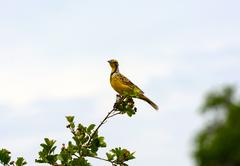 yellow-throated long claw in africa - stock photo