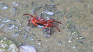 Stock Video Footage of HD Close up Red Crab in nature, Waterfall crab in deep forest