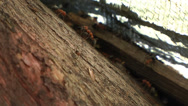 Stock Video Footage of Army of Red Ants Marches on Fallen Tree under Decaying Debris