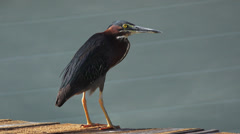 Heron Bird With Red Spot And Yellow Legs On Peir By Water- Flys Away 4K Stock Footage