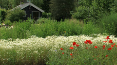 Garden with blooming scented mayweed and poppy in front of nursery shed, pan Stock Footage