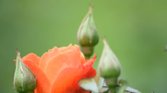 Orange rose flower and buds on nice green background Stock Footage
