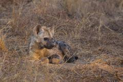 Resting hyena pup Stock Photos