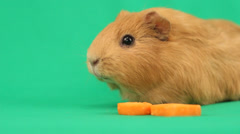 funny guinea pig and a slice of carrot on the green screen - stock footage