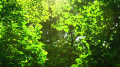 Stock Video Footage of Sunshine through the trees. Cottonwood fluff flying.