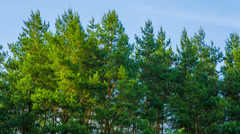 Pine trees swaying in the wind. HD 1080. Stock Footage