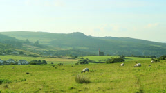 sheep grazing wider - stock footage