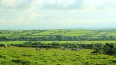 Sheep walking Stock Footage