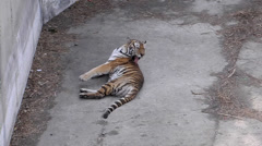 Tiger idly lying on the ground Stock Footage
