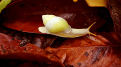 Beautiful white snail on red leaves. Stock Footage