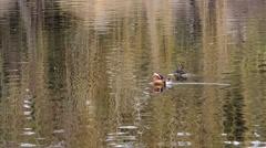 Wild mandarin duck in pond Stock Footage